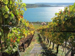 vignoble avec ecotrail et vue sur le lac de Bienne
